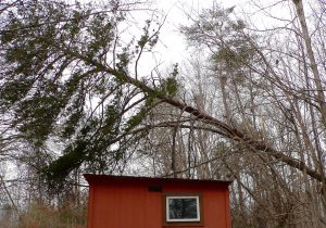The smaller tree is bending over with the weight of the larger fallen tree, keeping it from falling directly onto the roof of the chicken coop.